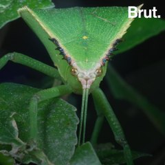 How phasmids manage to remain undetected