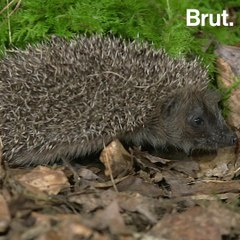 Is the European hedgehog threatened with extinction?