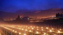 Des torches pour éviter le gel du raisin dans les vignobles