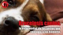 Brucelosis canina, la enfermedad de los perros que contagia a los hombres