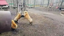 Ces renards ont une curieuse façon de communiquer