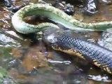 Un cobra royal vient capturer une vipère... Sans pitié