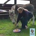Cet âne fête son anniversaire et il adore déguster son gâteau !