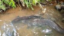 La taille de cette anguille est impressionnante - Mill Creek Park, NZ