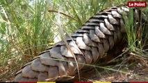 La malédiction du pangolins, le mammifère le plus braconné au monde