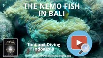 The nemo fish in bali indonesia with thailand diving club pattaya