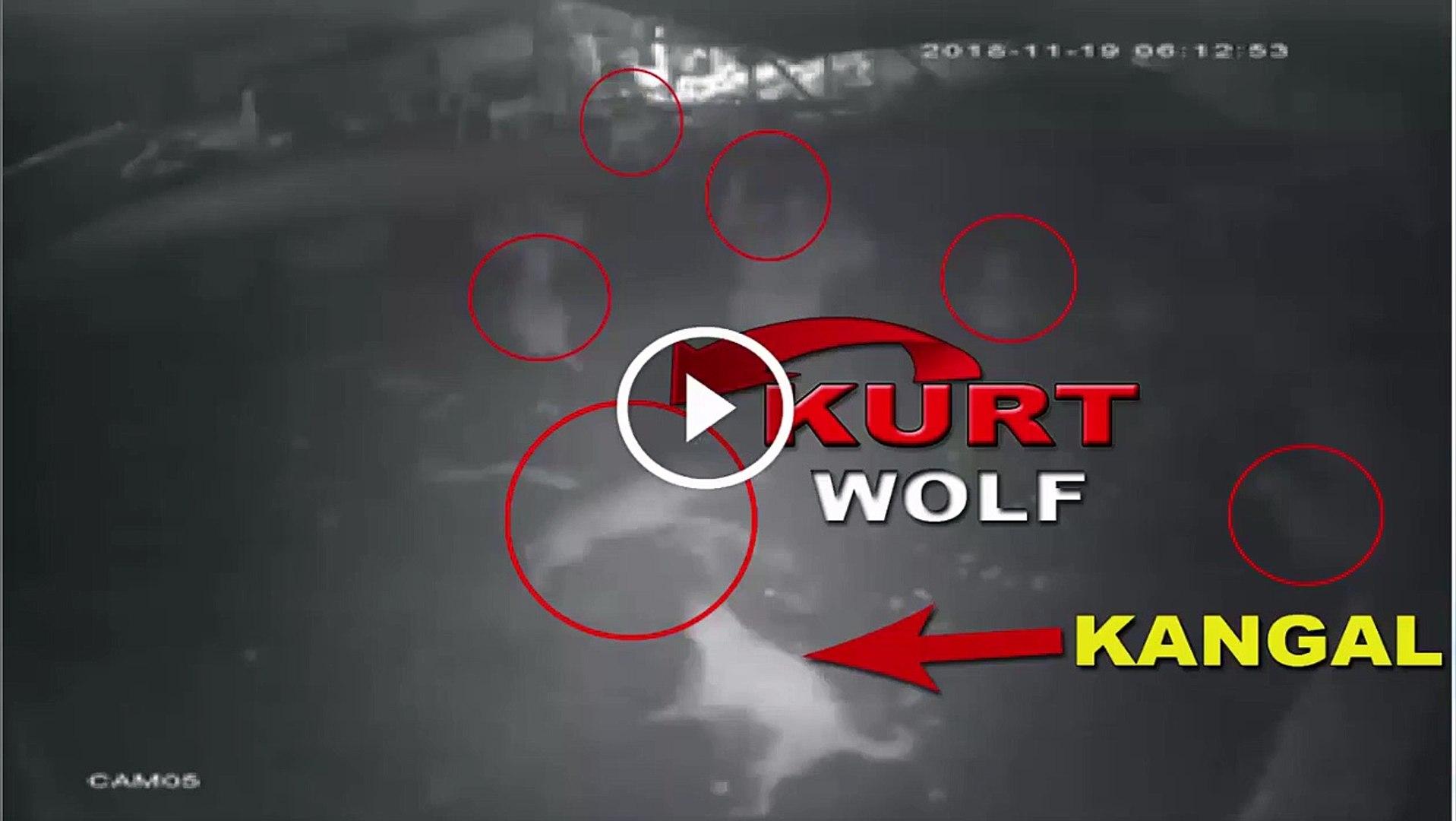 SiVAS KANGAL KOPEGi KURTTAN KORKAN DiYENLERE GELSiN - SiVAS KANGAL DOG WOLF ATTACKiNG