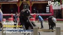 """Thaïlande : l'éléphanteau """"Dumbo"""" est mort"""