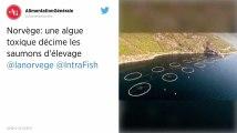 Norvège. Des millions de saumons meurent à cause d'une algue toxique