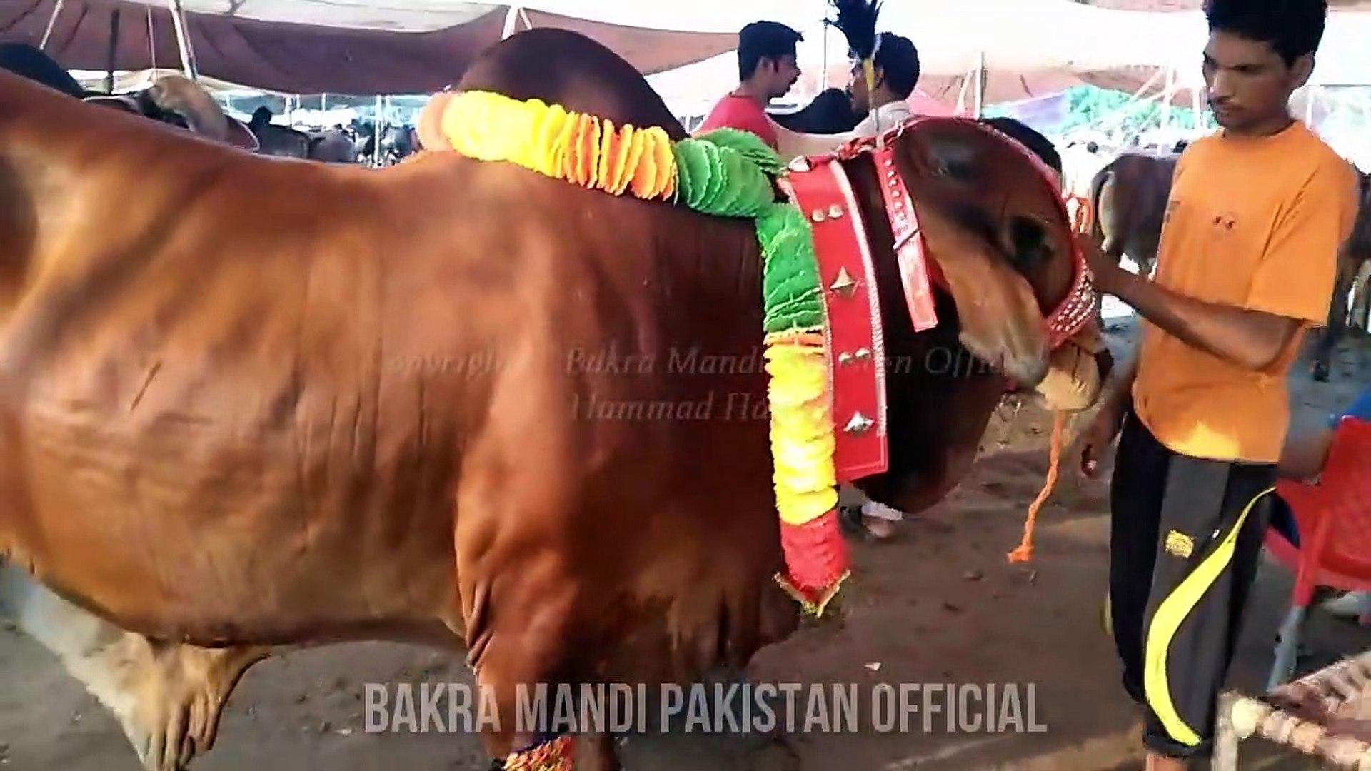 Lahore Cow and Bakra Mandi ki Heavy Beauties - Episode 1 - BakraEid in  Pakistan - Eid Ul Adha 2017