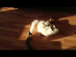 Funny persian Cat Fight 2 vs 1CATS will make you -LAUGH YOUR HEAD OFF - Funny CAT compilation