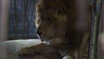 Shpëtohen kafshët në Gaza. Mjerim në kopshtin zoologjik - Top Channel Albania - News - Lajme