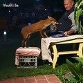 Ce renard sauvage s'invite et partage un buffet avec grand-père. Trop chou !