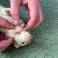 Cette souris adore les chatouilles. Regardez sa réaction !