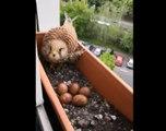 Une femelle faucon a fait son nid dans le bac à fleur à la fenêtre d'un appartement !