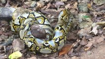 Cobra royal contre Python... Mais qui aura le dessus?
