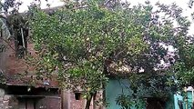 Tree at my home.....