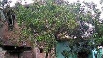 Tree at my home.....