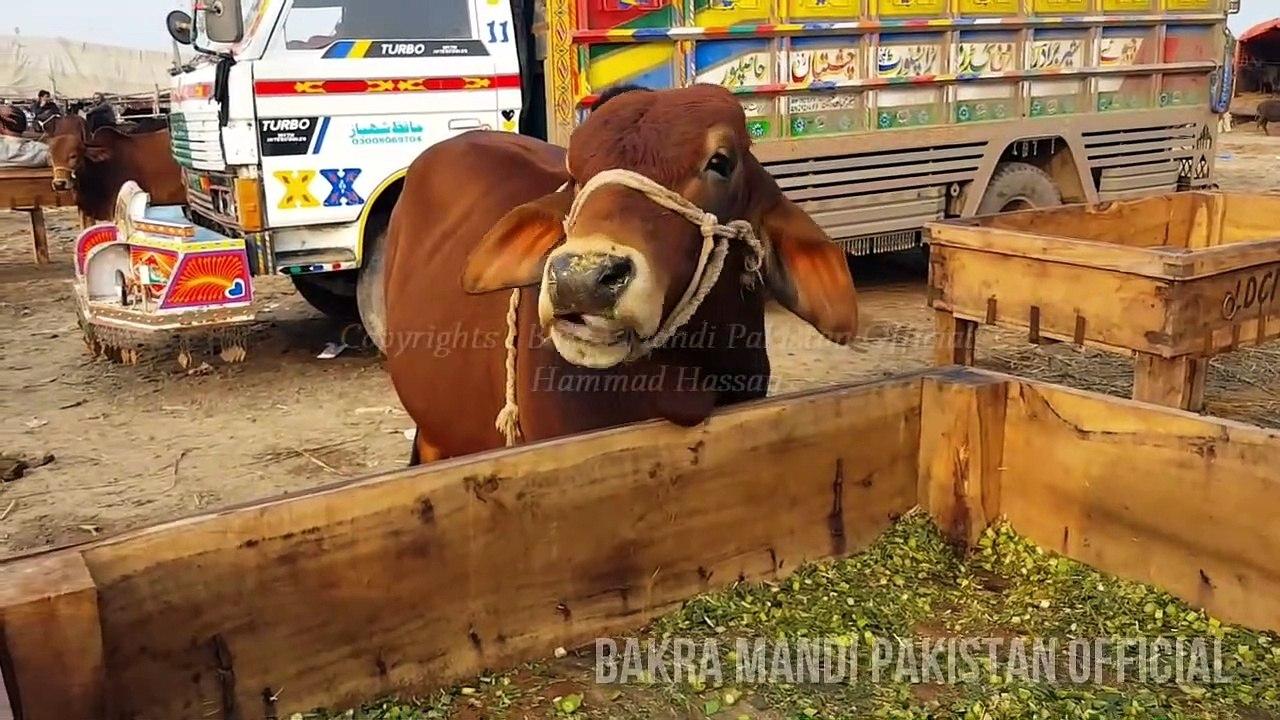 MOST EXPENSIVE BACHRA BAKRA EID 2018 - Lahore - Bakra Mandi - Cow Mandi -  Bakra Eid in Pakistan