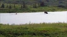 Un ours affamé prend en chasse un élan - Denali National Park