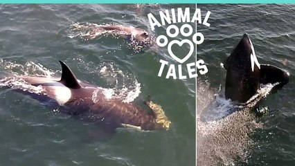 Orca Whales Carrying Seal Swim Beneath Boat