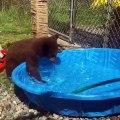 Cet ourson adore faire des bulles dans la piscine. Trop cute !