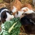 Regardez comment ces cochons d'Indes se précipitent pour manger. Adorable !