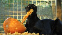 Black Leopard VS Pumpkins