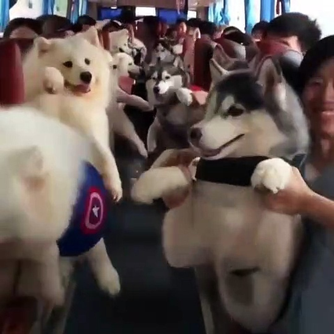 Magnifique ! Admirez ces Husky qui voyagent tous ensemble en bus !