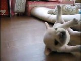 [cute] A puppy that can't get up easily is so cute!!!