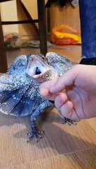 Pet frilled dragon tries to bully other pet lizard behind glass case