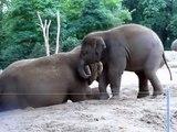 Ce bébé éléphant embête sa maman et lui grimpe sur le dos