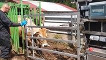 Anthony Minet, l'homme qui prend soin des sabots des vaches