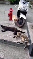 Çapkınlık yaparken eşine basılan kedi