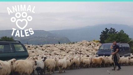 2000 Sheep Cause Traffic Jam After Blocking Road