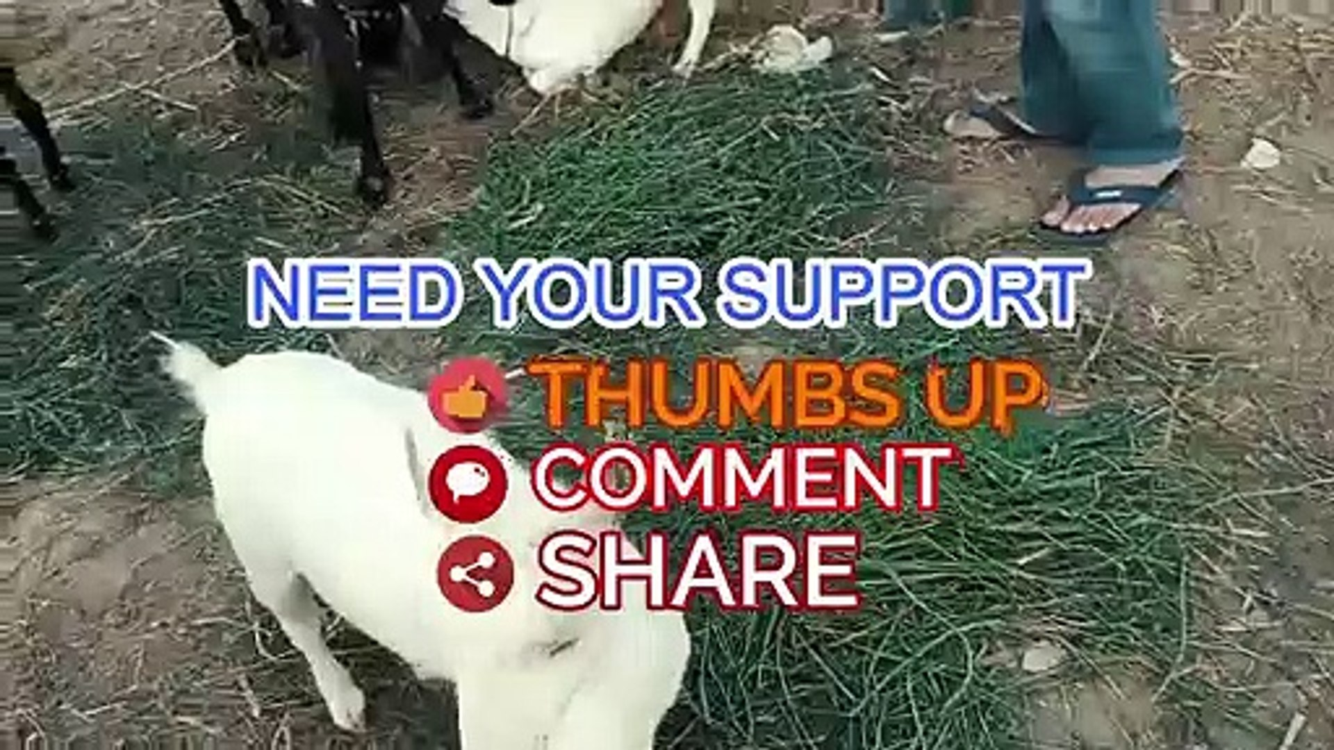 PURE - Barbari Goat - Barbari Goats for Sale in Lahore Bakra Mandi for  Qurbani Eid 2018