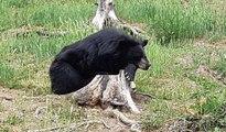 Découvrez l'Auvergne: les ours du Parc Animalier d'Auvergne d'Ardes sur Couze (63)