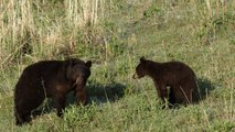 Nature: Black bears