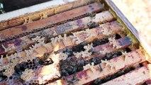 Varroa Mücadelesi için Oksalik Asit ile Giliserin Karışımını Arıya Verme
