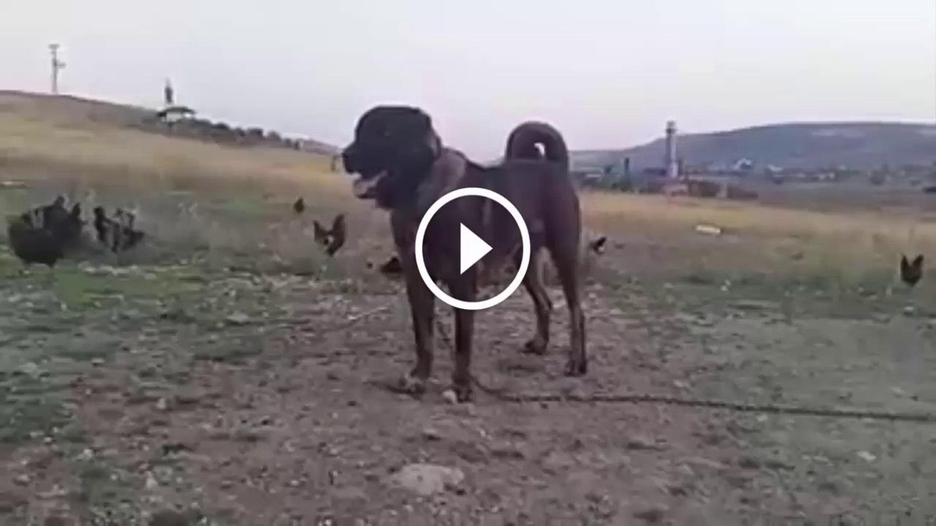 SiMiT KUYRUK KARA KIRCIL ANADOLU COBAN KOPEGi - BLACK ANATOLiAN SHEPHERD DOG