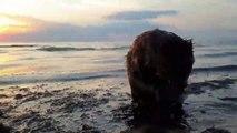 Douche d'un castor dans l'océan au bord de la plage !