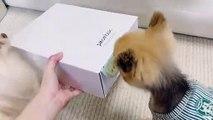 Ce chiot va tout tenter pour ouvrir la boite de biscuits. Trop chou !