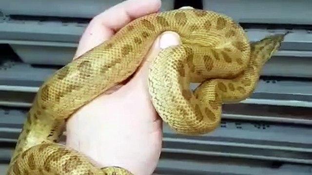 Ce serpent possède une peau unique en son genre. Surprenant !