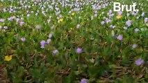 La jacinthe d'eau, une plante invasive aux vertus écologiques prometteuses