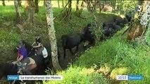 Ariège : la transhumance des chevaux Mérens