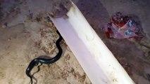 Un serpent donne naissance à des petits serpents... Impressionnant