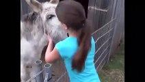 Cet âne est vraiment amoureux de sa maitresse... Adorable