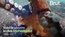 La pieuvre noix de coco, la plus astucieuse des invertébrés