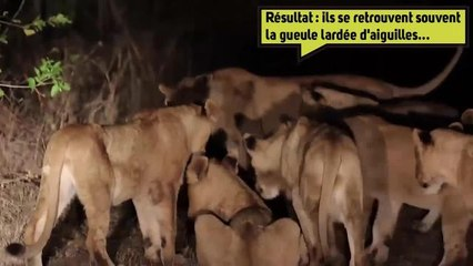 Les lions seraient-il des mangeurs d'hommesmalgré eux ?