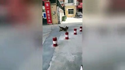 Playful dog skilfully jumps from one bollard to another in China